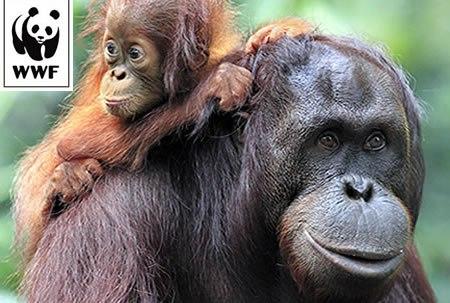 orangutanLarge1